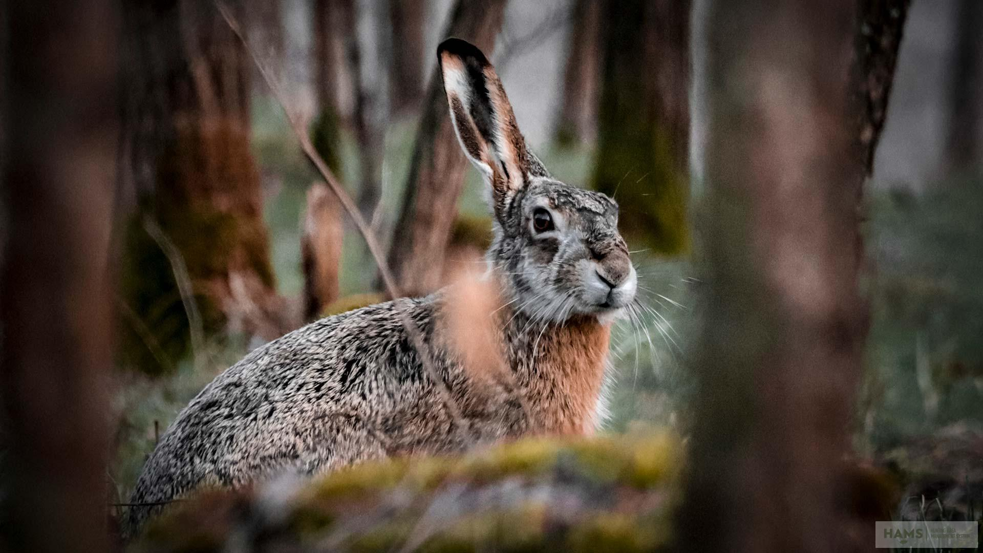 A brown hare live capture