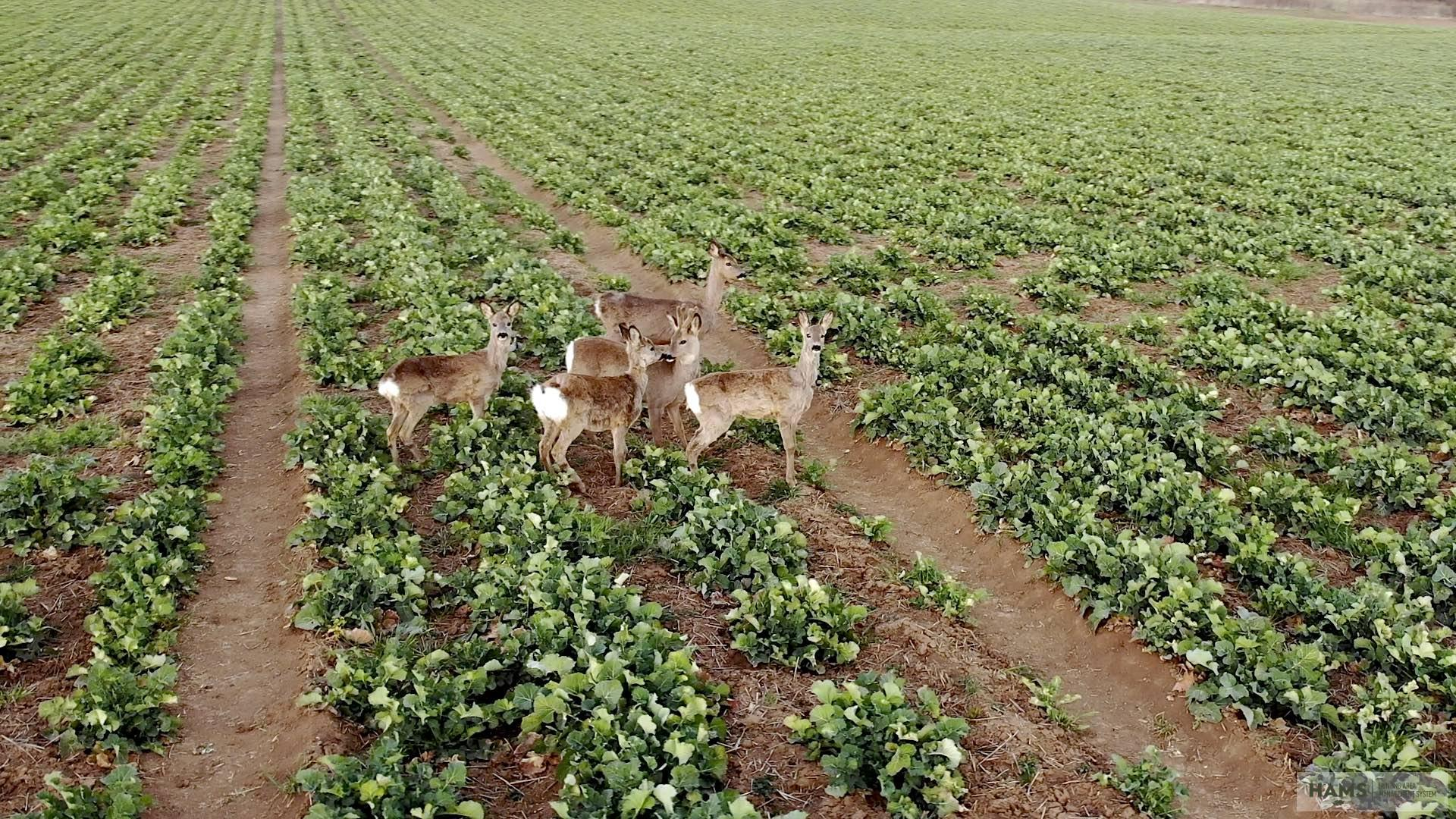 The search for answers: the mysteries of a roe deer population (Part 1.)